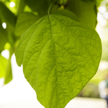 Catalpa leaf 03