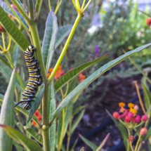 Milkweed with caterpillar 007