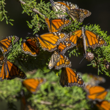 Monarch butterflies 003
