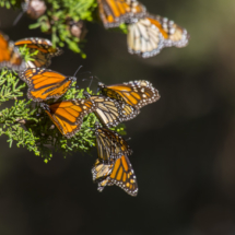 Monarch butterflies 008