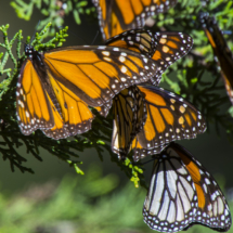 Monarch butterflies 025