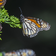 Monarch butterflies 030