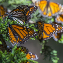 Monarch butterflies 049
