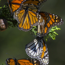 Monarch butterflies 063