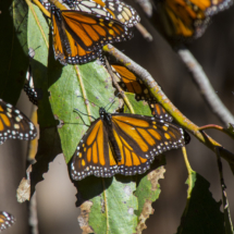 Monarch butterflies 065