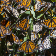 Monarch butterflies 078