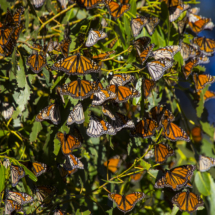 Monarch butterflies 121