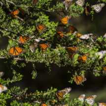 Monarch butterflies 145